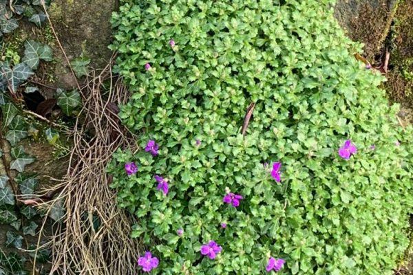 wall climbing plants